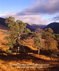 Image - Scots Pine Trees, remnant Caledonian Forest, Glen Lyon, Scotland