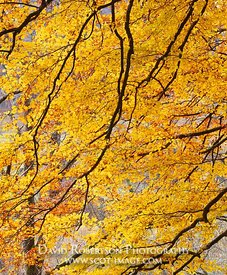 Image - Beech tree in autumn, leaves and branches