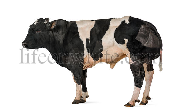 Belgian blue bull (16 months old),  isolated on white