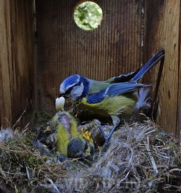 Blue Tit, Cyanistes caeruleus,  adult being presented with foecal sac while tending family inside nest box in garden Norfolk,...