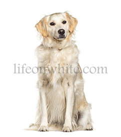 Sitting Golden Retriever dog, isolated on white