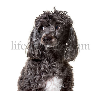 Poodle , 5 years old, against white background
