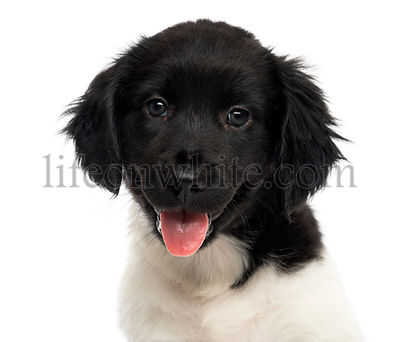 Close-up of a Stabyhoun puppy, looking at the camera, panting, isolated on white