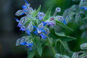 Blue hairy flowers of Borage