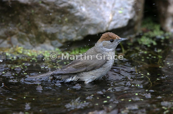 Female Eurasian Blackcap (Sylvia atricapilla) bathes gently in the garden pond, Lake District National Park, Cumbria, England