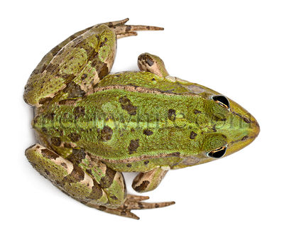 High angle view of Common European frog or Edible Frog, Rana esculenta, in front of white background