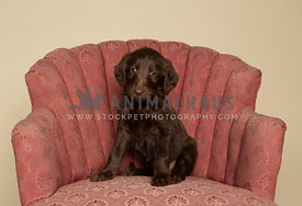 Brown labradoodle puppy sitting on pink vintage chair in studio