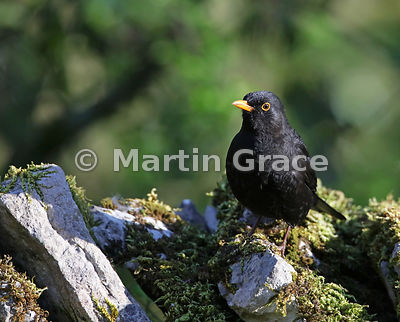 Male Common Blackbird (Turdus merula) standing on a limestone wall, Lake District National Park, Cumbria, England