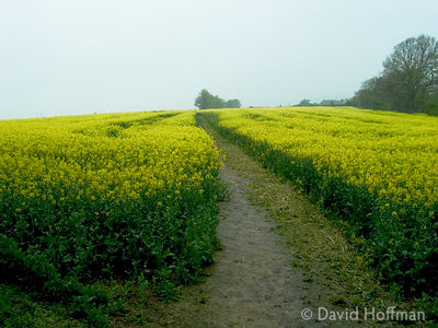 Oil seed rape being grown on a farm in Kent near Shipbourne.photos.
