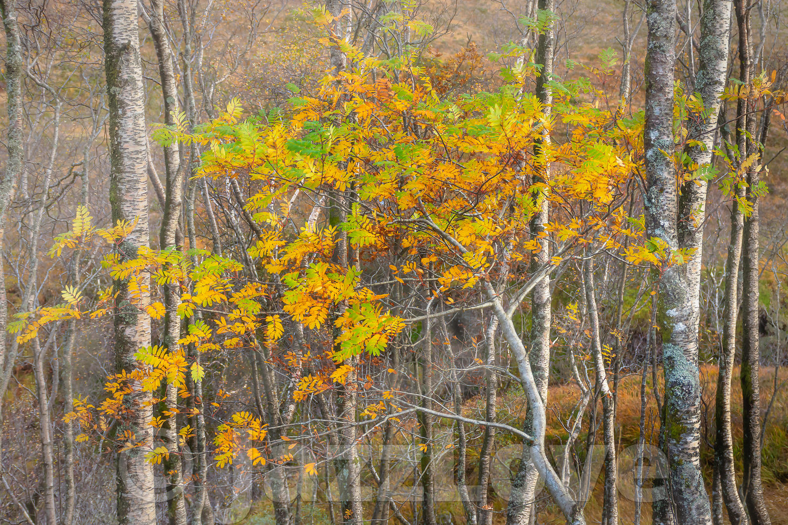 Ash tree with leaves changing colour growing in foggy birch woodland in autumn