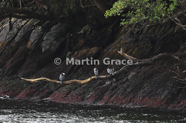 Three Pied Shags (Phalacrocorax varius varius) roost on a dead branch overhanging the water, Stewart/Rakiura & Ulva Islands, ...