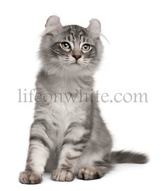 American Curl Kitten, 3 months old, sitting in front of white background
