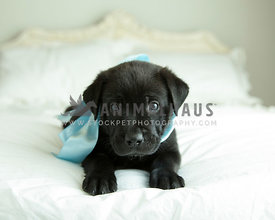 Solid black lab puppy stares at you from white linens and bed wearing satin blue ribbon
