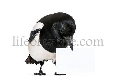 Common Magpie, Pica pica, holding blank card, in front of white background