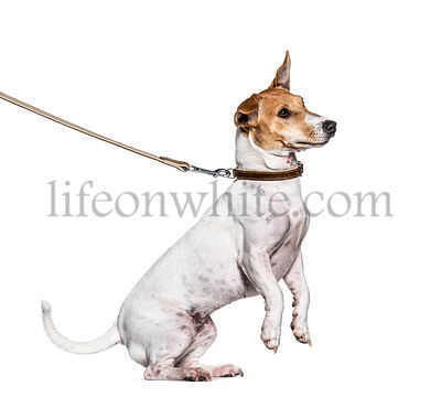 Training process with a Jack Russell Terrier on hind legs, isolated on white
