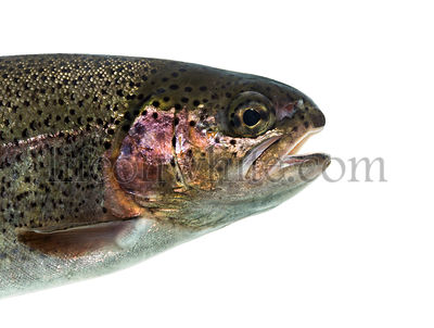 Close-up of head of rainbow trout, isolated on white