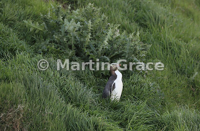 A Yellow-Eyed Penguin (Megadyptes antipodes) pauses by a huge thistle on the grassy slope from the colony to the sea, Otago P...