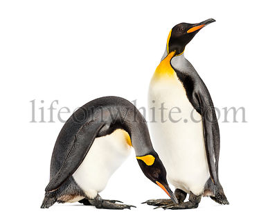 Two king penguins togethere in front of white background