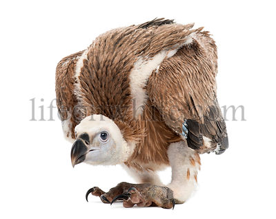 Griffon Vulture, Gyps fulvus, 61 days, isolated on white