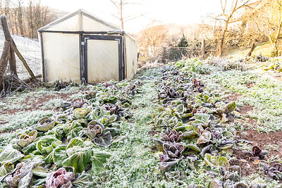 Salades gelées dans un potager en hiver, France, Moselle ∞ Frozen salads in a vegetable garden in winter, Moselle, France