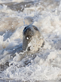 Grey Seal  Halichoerus grypus female, North Norfolk January