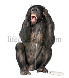 Mixed breed between Chimpanzee and Bonobo listening to music, 20 years old