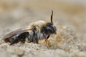 Closeup of a female grey-backed mining bee, Andrena vaga , posing on the ground