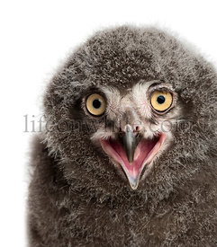 Snowy Owl chick calling, Bubo scandiacus, 31 days old against white background