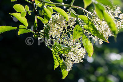 Elderflower photographed against the sunlight in the UK garden.