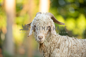 close up of angora goat