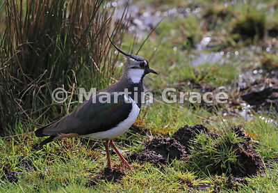Northern Lapwing in a wet area of meadow, Badenoch & Strathspey, Scottish Highlands