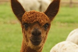 Frontal facial closeup of of the gentle looking brown Alpaca , Vicugna pacos
