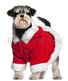 Miniature Schnauzer wearing Santa outfit, 4 and a half years old, standing in front of white background