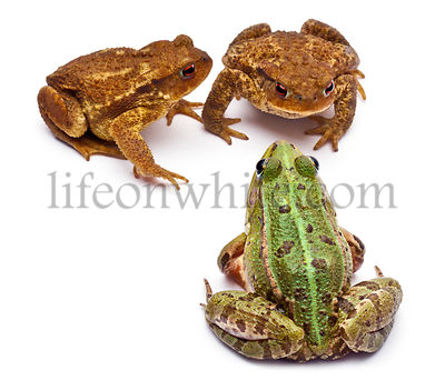 Common European frog or Edible Frog, Rana kl. Esculenta, facing common toads or European toads, Bufo bufo, in front of white ...
