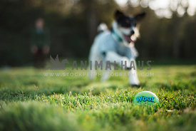 A jack russell terrier running to retrieve a ball laying in the grass