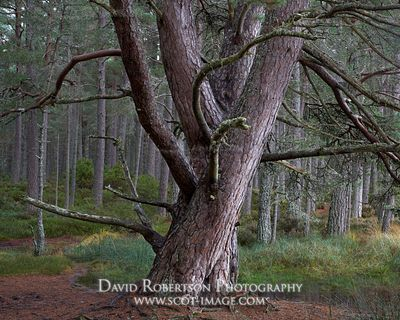 Prints & Stock Image - Scots Pine tree near Loch Garten, Badenoch and Strathspey, Highland, Scotland.