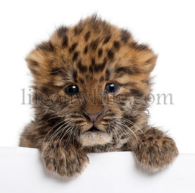 Close-up of Amur leopard cub, Panthera pardus orientalis, 6 weeks old, in front of white background