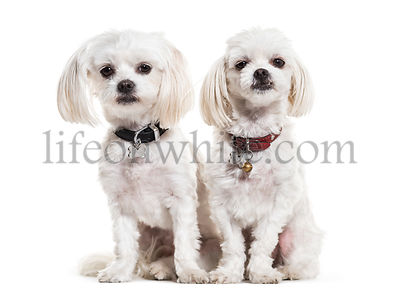 Maltese dogs, 4 years old, sitting against white background