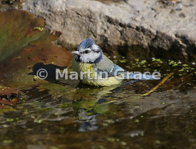 European Blue Tit (Cyanistes caeruleus) with reflection in the garden pond, Lake District National Park, Cumbria, England