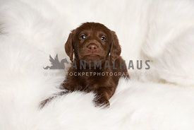 Cute portrait of brown labradoodle puppy