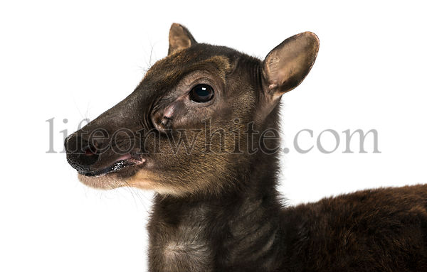 Close-up of a Visayan spotted deer, Rusa alfredi, isolated on white