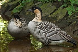 Close up of the endangered Hawaiian goose, Branta sandvicensis, in Parc paradisio , Belgium
