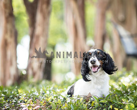 Handsome tri-color dachshund with long hair sits in the sunny park with a shallow soft natural light background of tree trunk...