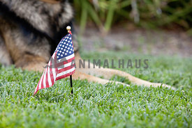 USA flag in grass with dog paws in background