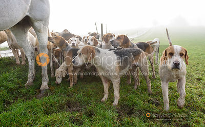 Cottesmore hounds at the meet - The Cottesmore Hunt at Withcote 30/11