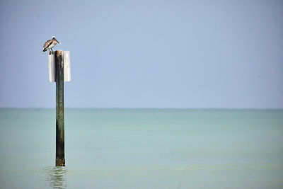 Clearwater Beach Pelican