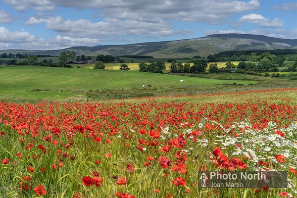 KIRKBY THORE 01A - Field of poppies