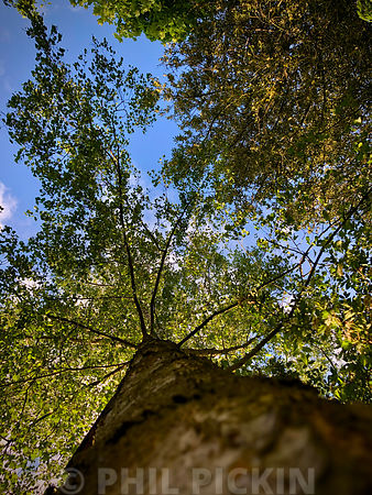 Looking up the trunk of a Silver Birch tree