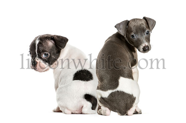 Boston terrier, Italian Greyhound puppy, in front of white background