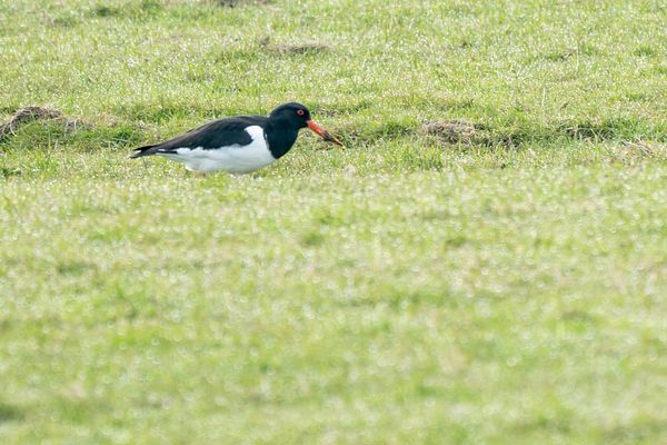 Oystercatcher with muddy bill